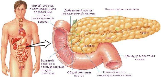 анатомия поджелудочной железы
