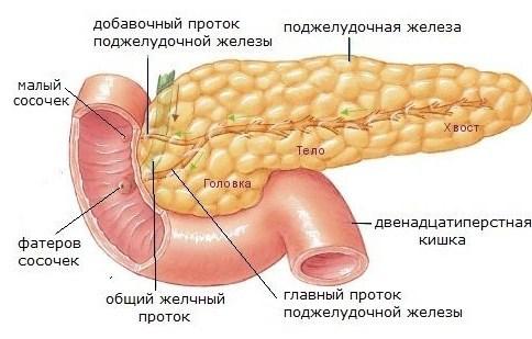 тело хвост и головка органа