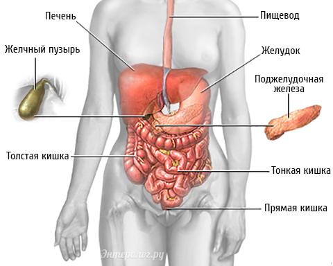 Анатомия желчного пузыря.
