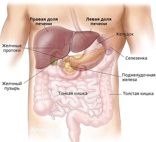 анатомия и расположение печени
