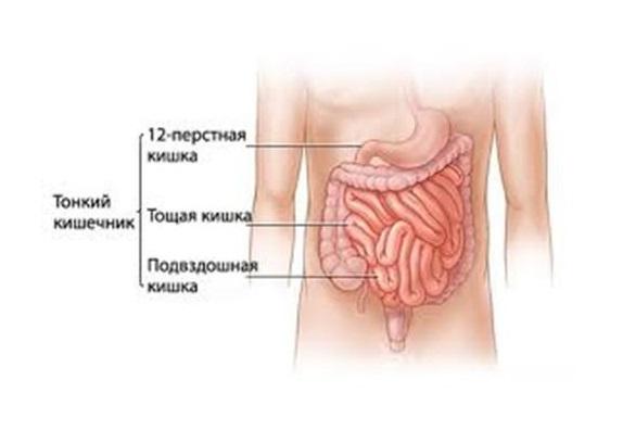 схема тонкого кишечника