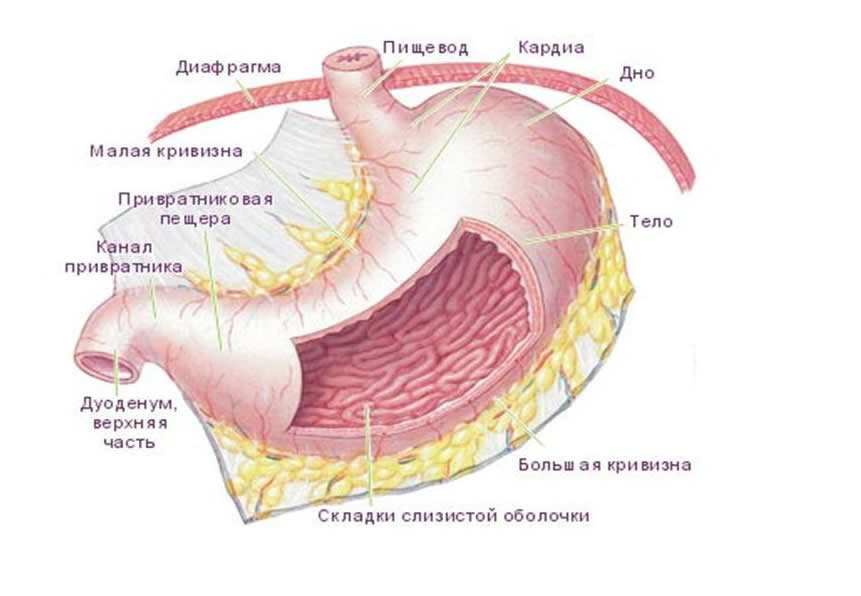 Локализация язвы желудка