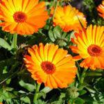 Растения для лечения дисбактериоза