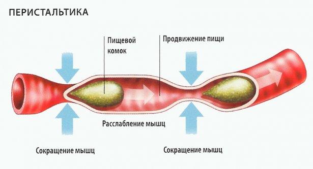 Схема механизма перистальтики