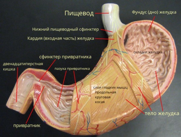 подробная анатомия желудка