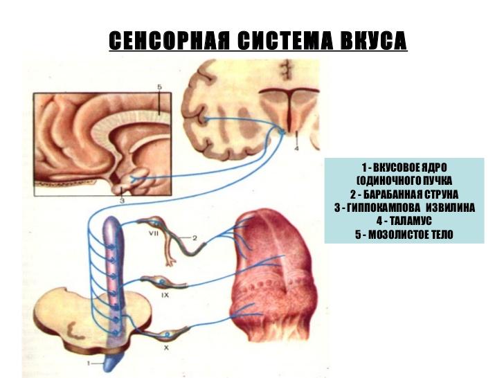 Схема сенсорной системы вкуса