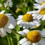 Лечебные цветы