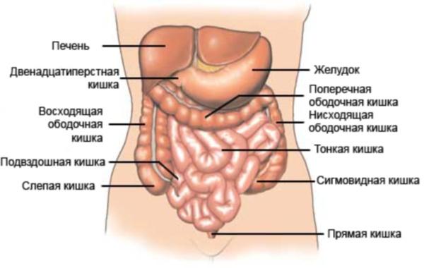Анатомия кишечника