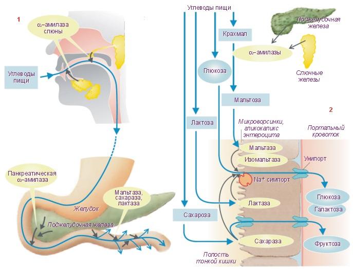 Схема пищеварение